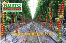 calidad de tomate con malla