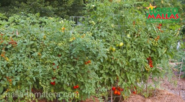 cultivo de jitomate con HORTOMALLAS.