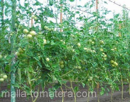 tomates con malla-tomatera